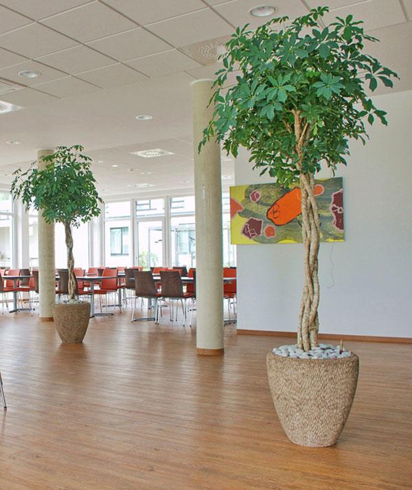 Salus Klinik Schefflera amate