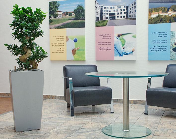 Salus Klinik Ficus microcarpa